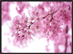 Kwitnąca, Wiśnia